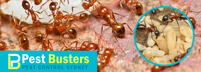 Professional Ant Pest Control Sydney